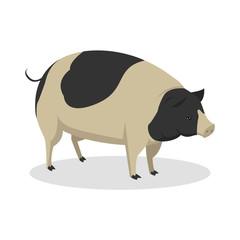 pig color illustration design