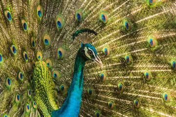 Wild peacocks, Ratchaburi, Thailand