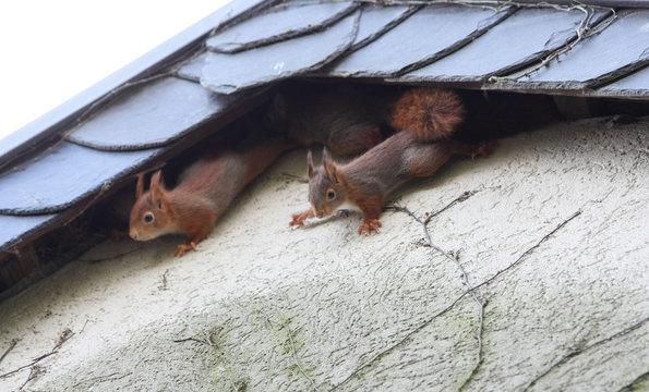 Junge Eichhörnchen an Hausfassade