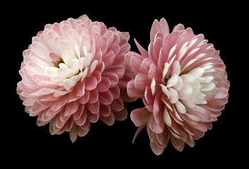 white-red  flowers  chrysanthemum.  black  isolated background with clipping path. Closeup no shadows. For design. Nature.