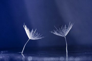 Dandelion seed with waterdrops on dark background