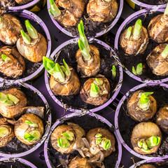 Narcissus root balls in humus