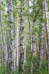 Tuinposter Birch tree forest