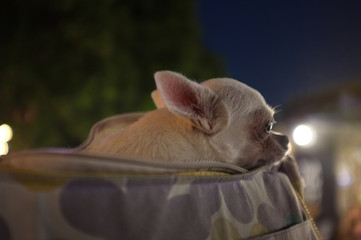 Cute white chihuahua in  travel bag , feeling  lonely , Waiting for love