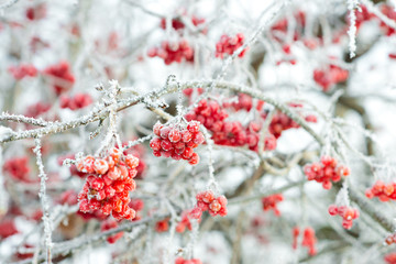 Viburnum berries covered with frost on the branches.