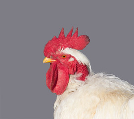 portrait of white rooster isolated on a grey background in profile closeup