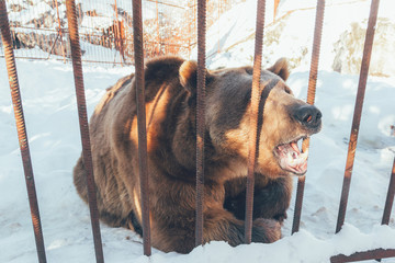 big brown bear roaring behind the bars of the cage