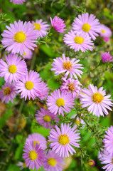 Autumn Flowers shrubby asters