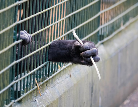 Young gorilla reaching through bars of cage.