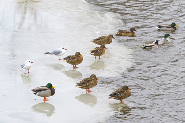 Ducks and seagulls on the ice