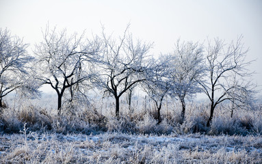 Winter landscape, trees in a row closeup, the frost on the grass