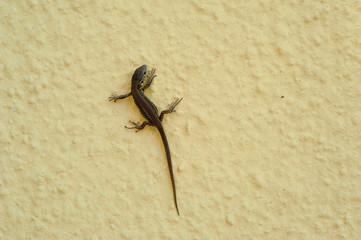 Junge Eidechse auf Hausmauer