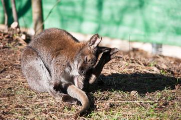 Känguru bei der Körperpflege