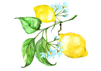 Watercolor card, poster, sticker - fruit of the lemon, its flowers, branches with leaves. Drawing is made on an isolated white background, use for design and decoration.