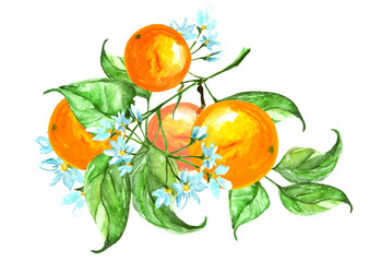 Watercolor set consists - fruit of the orange, its flowers, branches with leaves. Drawing is made on an isolated white background, use for design and decoration. Watercolor card, poster, sticker.