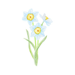 watercolor illustration of spring flowers narcissus daffodil