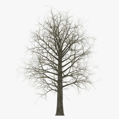 Red Oak Tree Winter on white. 3D illustration