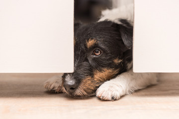 ausgesperrter neugieriger Hund - Jack Russell Terrier