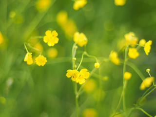 yellow buttercups in the forest