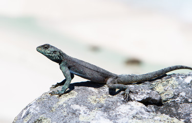 Relaxing Agama, South Africa