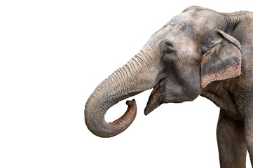 Tuinposter Olifant Elephant portrait. Elephant with open mouth. Elephant on a white background.
