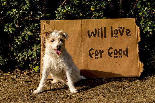 Homeless Jack Russell terrier dog with cardboard sign that says will love for food.