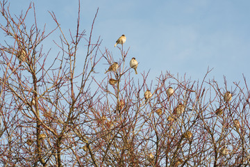 Flock of sparrows on the tree