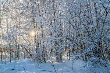 sunny weather . Winter forest landscape, snow