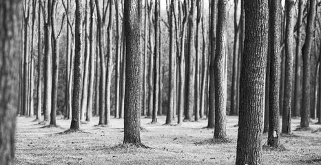 A forest of identical looking trees.