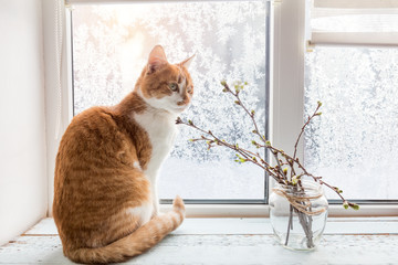 Red-white cat and branch of cherry tree in glass jar on windowsill. In the background frosty pattern on window. Cozy home concept.