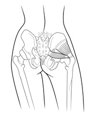 Detail of woman pelvic girdle; The internal structure of the pelvic girdle female skeleton and gluteus minimus muscle and piriformis,  rear view. On a white background