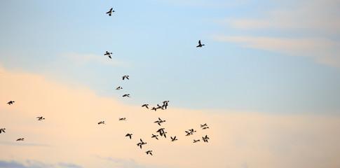 Ducks flying.