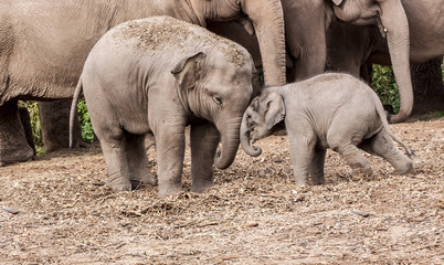 Junior and baby elephant playing together with parents in background.