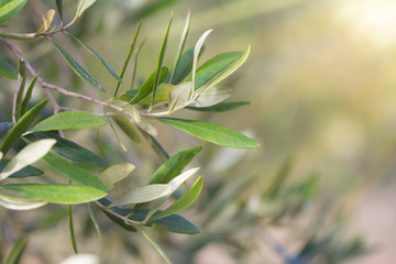 Close-Up of Olive Leaves bathed in Sunlight with Copy Space Selective Focus