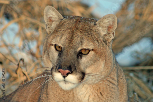 free cougar search
