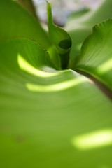 Unrolling bird of paradise leaf