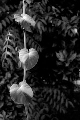 Three heart-shaped leaves hanging