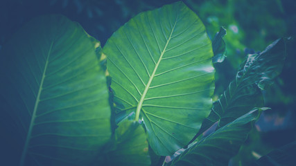 Background leaves green. elephant ear plant leaves