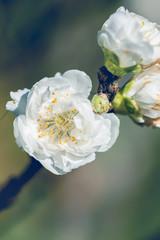 background White flower  Prunus persica.