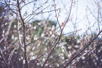 background White flower  Prunus persica.