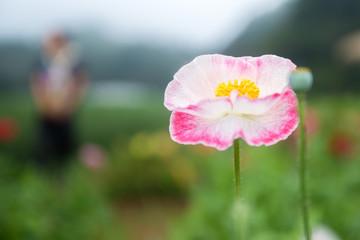 background Flower Opium Poppy pink