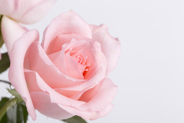 Single pink rose closeup on the whtie background