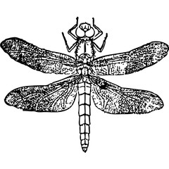 sketch of tattoo dragonfly