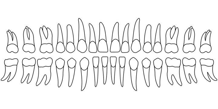 tooth chart teeth