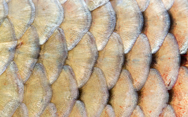 scales of fish as background