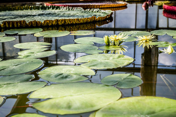 Artiistic composition with beautiful and ornamental giant water lily with sky and framework reflection