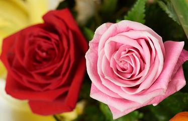 Two roses in bush