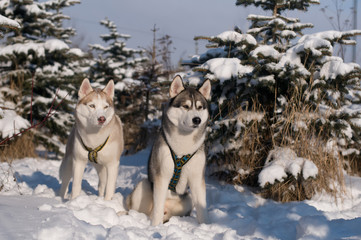 Siberian husky winter portrait