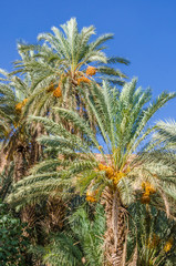 Golden yellow dates growing and hanging off palm trees in oasis, Morocco, North Africa