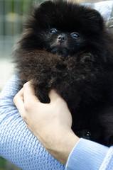 Pomeranian for a walk in summer.
